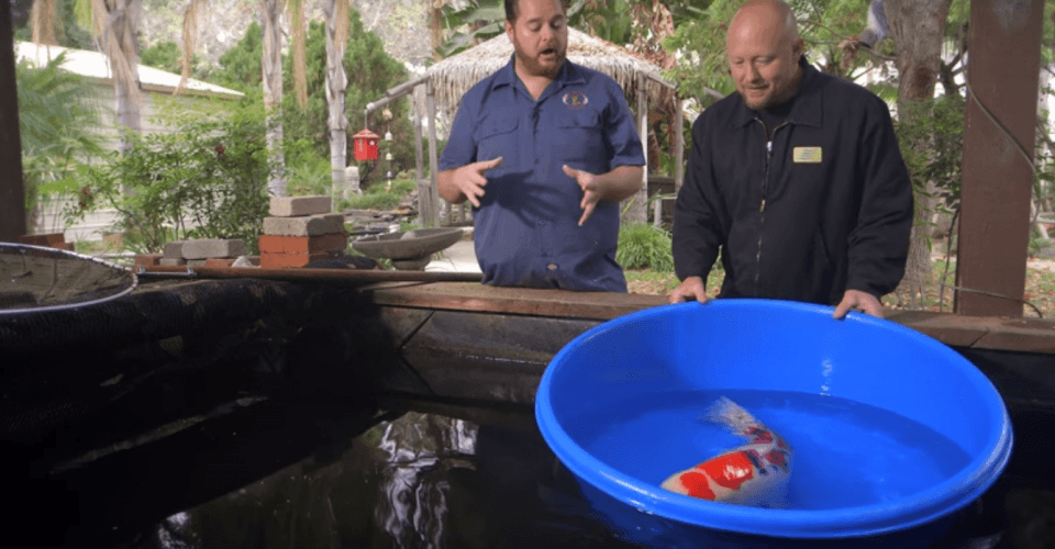 What does the most expensive japanese koi fish cost for Koi fish cost
